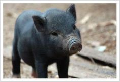 Miniature pigs, also known as micro pigs, pocket pigs, or teacup pigs