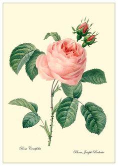 Rosa centifolia by Redouté
