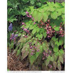 Red barrenwort - Epimedium x rubrum  Part to full shade, zone 5-9