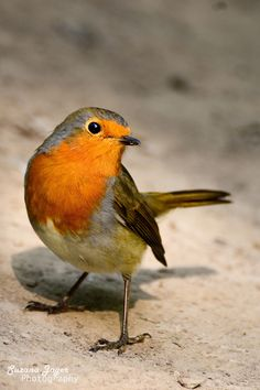 Photo Posing robin by Suzana Jager on 500px