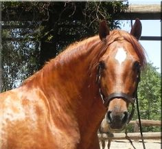 Heartthrob! Chestnut Andalusian stallion on Epona Exchange! See more pictures....
