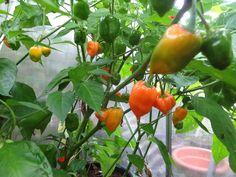 Habanero Orange August 4