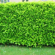 Skip Laurel - Prunus laurocerasus 'Schipkaensis' - for back corner by aquarium house Laurel Hedge, Skip Laurel, Shade Tolerant Plants, Evergreen Hedge, Plant Diseases, Laurel Leaves, Topiary Trees, Free Plants