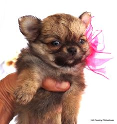 Available Puppies – Hill Country Chihuahuas Chihuahua Breeders, Chihuahua Puppies For Sale, Baby Chihuahua, Teacup Puppies, Dachshund Puppies, Chihuahuas, Long Coat Chihuahua, Baby Animals, Chihuahua Dogs