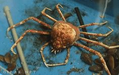educational-gifs:  A spider crab removing its old shell.