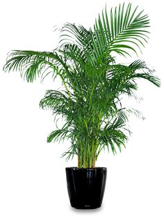 Areca Palm: Great Indoor House Plant that Purifies the Air