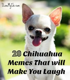 Effective Potty Training Chihuahua Consistency Is Key Ideas. Brilliant Potty Training Chihuahua Consistency Is Key Ideas. Funny Chihuahua Pictures, Chihuahua Facts, Baby Chihuahua, Chihuahua Quotes, Cute Puppies, Cute Dogs, Tiny Puppies, Dog Memes, Meme Meme