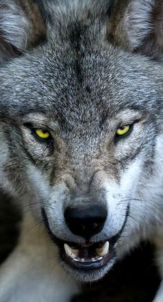 Wolf Photos, Wolf Pictures, Beautiful Wolves, Animals Beautiful, Wolf With Red Eyes, Snarling Wolf, Angry Wolf, Wolf World, Shadow Wolf