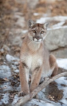 two beautiful kittens a cougar and
