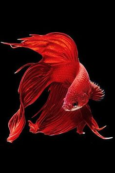VirtualPaperdolls... Crimson Betta Fish Wallpaper... By Artist Unknown...