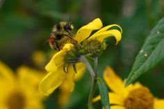 New research from a team of Florida State University scientists and their collaborators is helping to explain the link between a changing global climate and a dramatic decline in bumble bee populations worldwide.