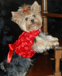 Red Silk & Satin Rosette Harness <3 #pets