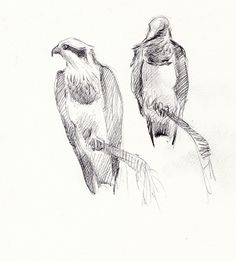 Bird drawings and paintings: Ospreys on a rainy day