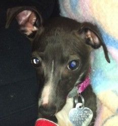 Piccolina is an adoptable Italian Greyhound Dog in Columbus, OH. Educate yourself about this breed and adopting through rescue before submitting an application.� Find information and how to adopt at h...