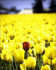 A lone red tulip in a field of yellow, Skagit Valley, Washington