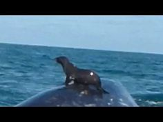 CAs #Wildlife | Meanwhile in #Baja, sea lions are 'surfing' on gray whales (video) | oceans | Earth Touch News