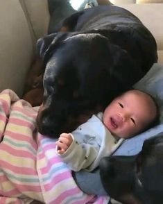 These rottweiler puppies are welcoming a new family member. - 💜 WARNING cuteness overload extremely sweet rotties welcome new baby to family 💜 Cute Little Animals, Cute Funny Animals, Funny Dogs, Cute Dogs And Puppies, I Love Dogs, Chien Golden Retriever, Rottweiler Puppies, Funny Animal Videos, Animals Beautiful