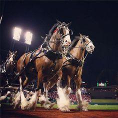 Clydesdales at Busch Stadium