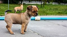 Runars World : Wie schwer wird ein Chihuahua?