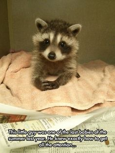 Baby Raccoon Would Like To Have A Word With You