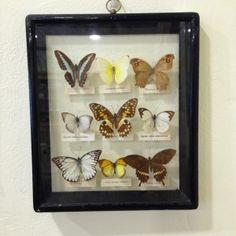 Cuadro antiguo mariposas disecadas