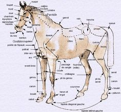 Morphology of the horse Morphocompter combien il y a de truc dans un chevel! - Art Of Equitation Horse Barn Designs, Horse Information, Rare Horses, Horse Anatomy, English Riding, Horse Riding, Animals And Pets, Equestrian, Riding Helmets