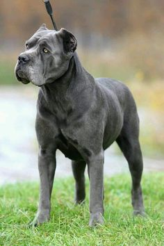 "Cane Corso, a muscular and large-boned breed. One of two native Italian ""mastiff type"" dogs that descended from the Roman canis Pugnaces, the breed's name derives from the Latin ""Cohors"" which means ""Guardian"" and ""Protector."""