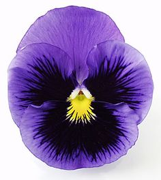 Pansy | ... hardy, even up into Zone 5, contradicting their wimpy pansy name