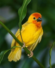 Golden palm weaver - Photo by skip