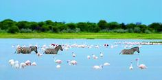 """""""Zebras and flamingos,"""" by Heinrich van den Berg -- From tags, this is in Namibia. -- I love these striking colors! Fauna, Zebras, Karen Blixen, Africa, Creatures, The Incredibles, Digital, Gallery, Horn"""