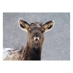 Possibly seeing snow for the first time, soft white snowflakes fall gently around an inquisitive elk calf. The additional glint of silver metallic snowflakes adds a bit of sparkle to this appealing holiday card image by Megan Lorenz from the 2014 NWF Photo Contest.