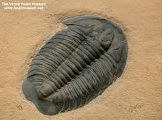 Image result for trilobite