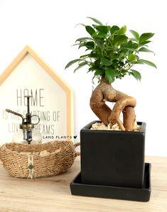 ガジュマル (幹太タイプ)  Ficus microcarpa Chinese Banyan、Malayan Banyan 卓上に飾れる盆栽の様なガジュマル BONSAI Ficus Microcarpa, Dream Life, Beams, Place Cards, Happy Birthday, Place Card Holders, Plant, Happy Brithday, Urari La Multi Ani