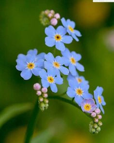 Forget-me-nots!! Forget-me-not. A legend about the origin of the name forget-me-not is as follows. Once a medieval knight and his lady-love were walking beside a river. The knight held a bouquet in his hands. Because of the weight of the armor, he fell into the water. According to the legend, he threw the bouquet at her shouting forget-me-not.