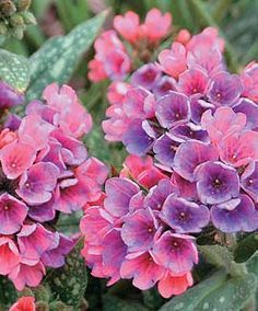 "Raspberry Splash Pulmonaria, another shade lover. Grows 10-12"", blooms late spring.  Beautiful multi- colored flowers."