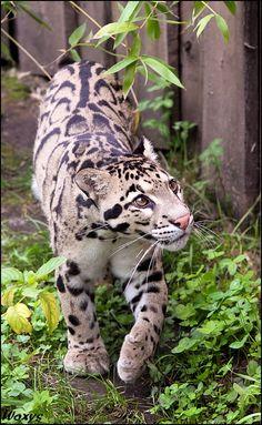 Majestic Clouded Leopard ... my favorite big cat!