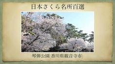 【(Japan)日本さくら名所百選】琴弾公園(香川県観音寺市)[Beautiful cherry blossoms in Japan]