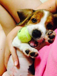 Bruno the beagle Puppo❤️ via @KaufmannsPuppy #Beagle