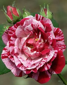 ✯ 'Ferdinand Pichard' Rose