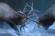 Bulls In Rut: Elk Fighting Behavior Captured In Photos Types Of Animals, Animals And Pets, Large Animals, Elk Images, Deer Photos, Deer Pics, Bull Elk, Deer Family, Elk Hunting