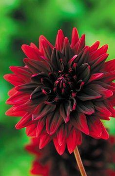 Dahlia Sam Hopkins Flowers Garden Love
