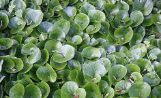 Die heimische Haselwurz (Asarum europaeum) besitzt immergrüne, glänzende Blätter…