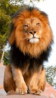 earth — earthdaily: Wild Animal Park (by on. Lion Images, Lion Pictures, Animal Pictures, Wild Animals Photos, Animals And Pets, Cute Animals, Beautiful Lion, Animals Beautiful, Wild Animal Park