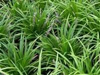 Image of Liriope gigantea 'Evergreen Giant' Evergreen, Garden Design, Herbs, Landscape, Plants, Image, Ideas, Scenery, Herb