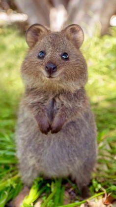 Cute Wild Animals, Super Cute Animals, Cute Little Animals, Happy Animals, Cute Funny Animals, Animals Beautiful, Animals And Pets, Cutest Animals, Quokka Animal