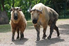 Sichuan Takin | 30 Mammals You've Probably Never Heard Of But Should