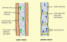 Differences between Xylem and Phloem vessels. The structure is cylinder tube. While the function of Xylem carries out the water while phloem distributes it. Science Education, Teaching Science, Life Science, Biology Revision, Ap Biology, Biology Facts, Science Worksheets, Science Activities, Science Ideas