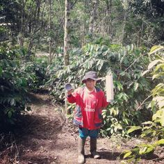Little kurcaci at Arabica Gayo Coffee Farm - pantan cuaca Gayo Lues