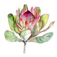 Watercolor Flowers Discover Pink Protea Flower - Large Botanical Art Print Watercolor Painting Bright Flower Wall Art Pink and Green Art - South Africa Art Flor Protea, Protea Art, Protea Flower, Botanical Drawings, Botanical Art, Botanical Illustration, Flower Canvas, Flower Art, Watercolor Flowers