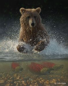 Grizzly Bear Fishing For Salmon.